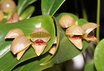 Pleurothallis paliolata